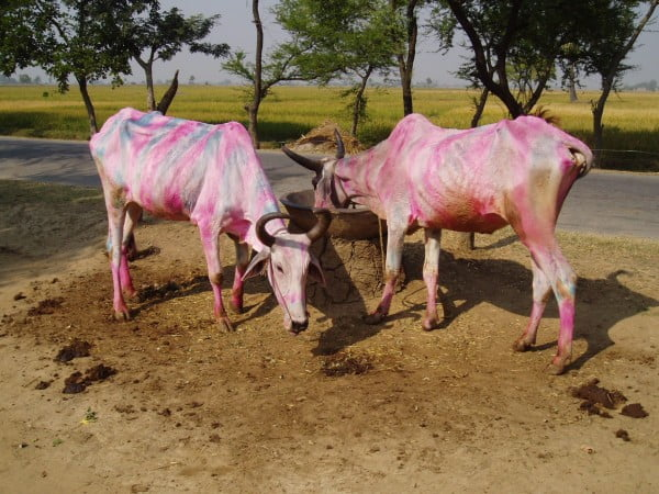 Posvätná krava z Istanbulu